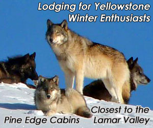 Pine Edge Cabins - Lodging for Wildlife Enthusiast - Whether you nordic or backcountry ski, enjoy wildlife photography in Yellowstone Park, or just want a weekend getaway with guys and gals, our cozy cabins, located 1/2 mile from Yellowstone's northeast entrance, is your headquarters for winter fun and relaxation.