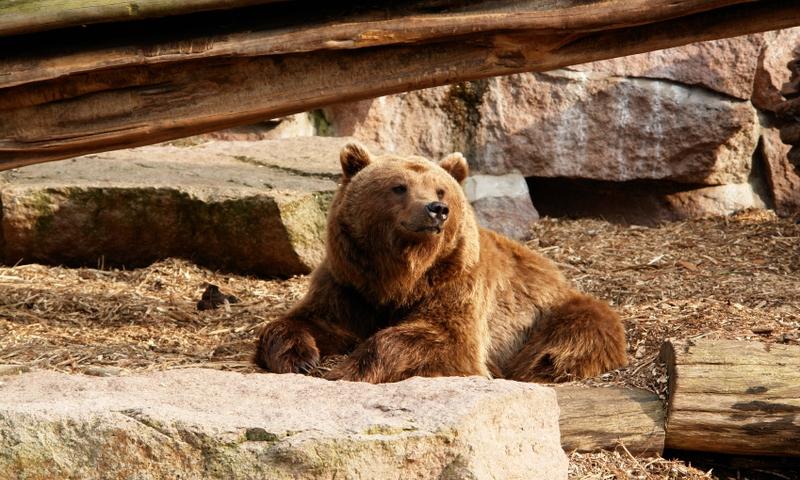 Billings Montana Montana Zoo Grizzly Bear Wildlife