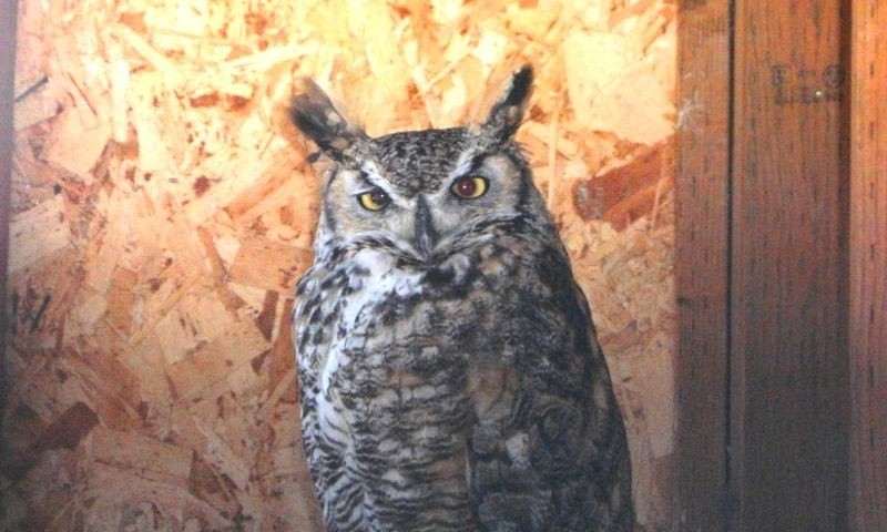 Captain the Great Horned Owl