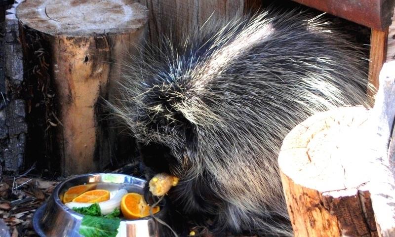 Beartooth Nature Center Montana Porcupine