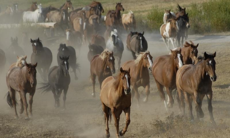 Wild Horses Horse West